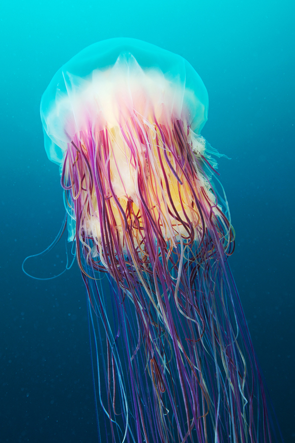 Jellyfish by Alexander Semenov 4